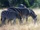 grazing-zebras