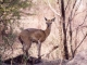klipspringer-kruger-national-park