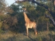 kruger-giraffe