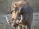 large-male-warthog