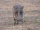 large-male-warthog_0