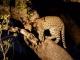 leopard-cub-in-tree