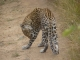 leopard-grooming