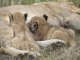 lion-mother-and-cubs