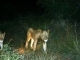 night-drive-lion-sighting