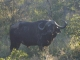 old-bull-buffalo