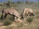 oryx-kgalagadi-national-park