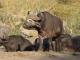 resting-buffaloes