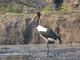 saddle-billed-stork