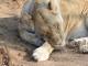 sleeping-lioness