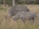 southern-white-rhino-with-calf