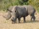 white-rhino-female-and-calf