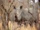 white-rhino-kruger