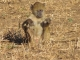 young-baboon