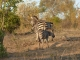 zebra-family