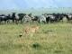 cheetah-on-the-hunt