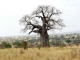 elephant-markings-baobab-tree