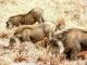 feeding-warthogs