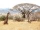 giraffe-kilimanjaro