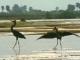 goliath-herons-rufiji-river-selous