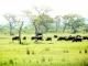 grazing-buffalo-arusha