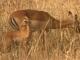impala-and-baby-tarangire