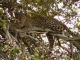 leopard-katavi-national-park