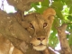 lion-resting-in-tree