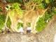 tree-climbing-lion