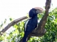 trumpeter-hornbill-arusha