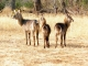 waterbuck-family