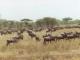 wildebeest-central-serengeti