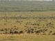 wildebeest-grazing-masai-mara