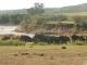 wildebeest-mara-river_0
