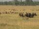 wildebeest-with-warthog-friends
