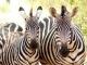 zebras-tarangire_0