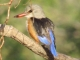 brown-headed-kingfisher