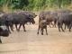 buffalo-herd