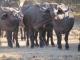 buffalo-herd_0