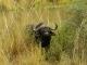 buffalo-visiting-camp