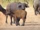 buffalo-with-calf
