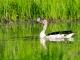 comb-duck