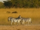 curious-zebras