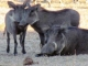family-of-warthogs