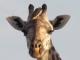 giraffe-with-oxpecker