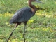 goliath-heron