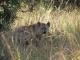 hiding-hyena