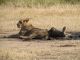 lioness-with-cub-siesta