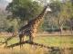 luangwa-giraffe