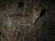 night-drive-leopard